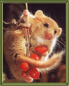 Adorable Dormouse