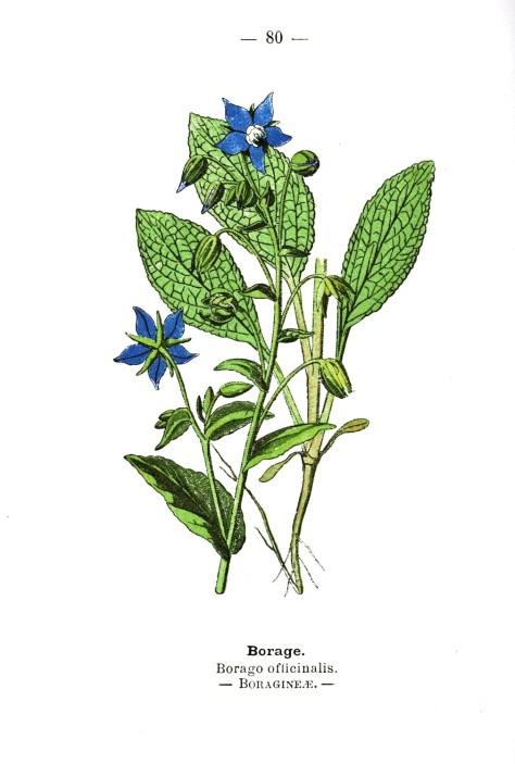 Botanical-Borage-Wayside-and-Woodland-1895-Plate-80