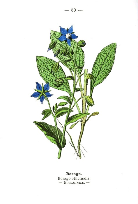 Botanical-Borage-Wayside-and-Woodland-1895-Plate-80