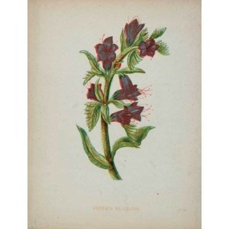 echium botanical