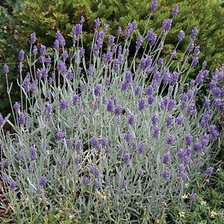 """Silver Mist"" English Lavender"