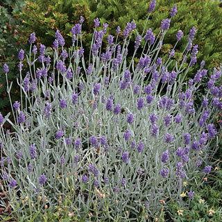 """Silver Mist"" English Lavender"