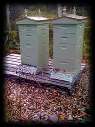 blue hives