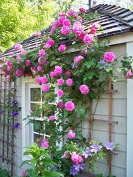 "David Austin's ""Gertrude Jekyll"" Rose"