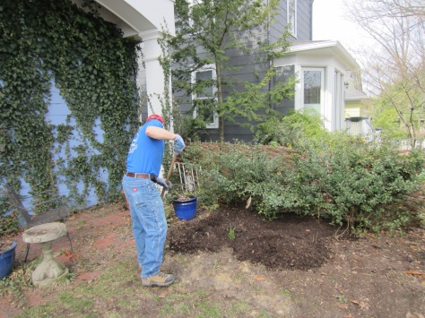 Loyal Yard Dude Alex spreading compost over the hosta bed.