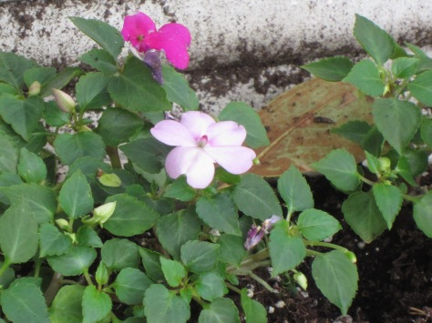 Impatiens in the windowbox. I don't use pansies any more.