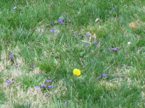 Only a beekeeper can get excited about seeing dandelions and wild violets in her garden...
