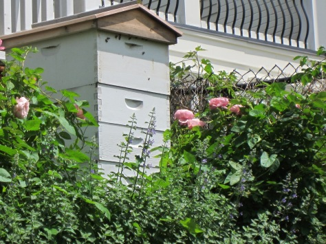 My own White Hive surrounded by Nepeta and David Austin roses