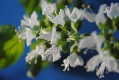 Basil flowers