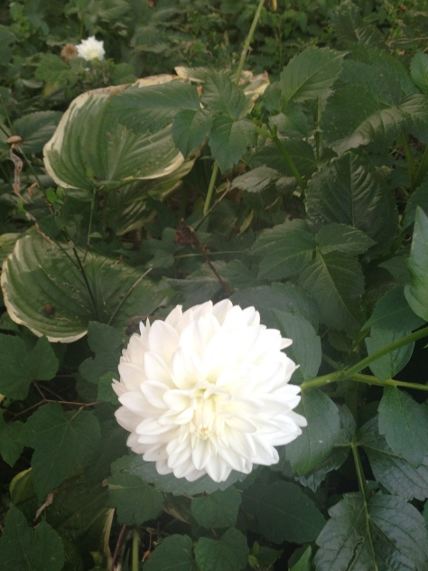 White Dahlia And Hosta