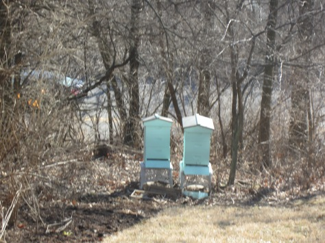 The hive on the right is thriving. The hive on the left not so much...